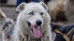 Sled dog on Svalbard with heterochromia.jpg