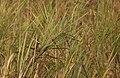 Slender-billed Babbler AMSM1282.jpg