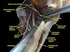Mandibular canal - Wikiwand