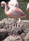 Slimbridge.chilean.flamingo.arp