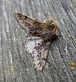 Small Brindled Beauty. Apocheima hispidaria. - Flickr - gailhampshire.jpg