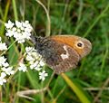 Small Heath. Coenonympha pamphilus - Flickr - gailhampshire (6).jpg