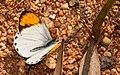 Small Orange tip-Bannerghatta.jpg