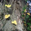 Smilax excelsa on poplar tree.jpg