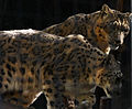 Snow Leopards (4241421645).jpg