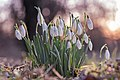 Snowdrop - Flickr - moments in nature by Antje Schultner.jpg