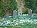 Snowdrops in the churchyard at Challock - geograph.org.uk - 684359.jpg