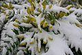 Snowed Flowers (4198967129).jpg