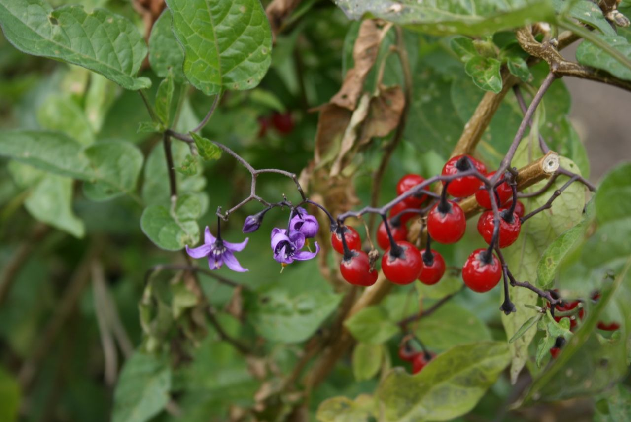 Solanum-nigrum-berries.jpg