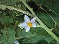 Solanum violaceum 07.JPG