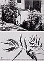 Some ornamental shrubs for the Tropics (1951) (20561187352).jpg