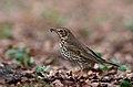 Song Thrush (Turdus philomelos), Forêt de Soignes, Brussels (33666280890).jpg