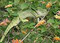 South Asian Chamaeleon (Chamaeleo zeylanicus) W IMG 1817.jpg