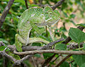South Asian Chamaeleon (Chamaeleo zeylanicus) W IMG 1862.jpg