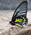 Southern Birdwing Female UN.jpg