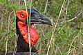 Southern Ground Hornbill (Bucorvus leadbeateri) male close-up (12714672615).jpg
