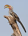 Southern Yellow-billed Hornbill, Tockus leucomelas at Mapungubwe National Park, Limpopo, South Africa (18277322486).jpg