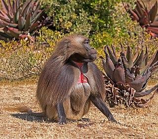Gelada Species of Old World monkey