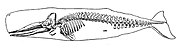 Skeleton of a sperm whale
