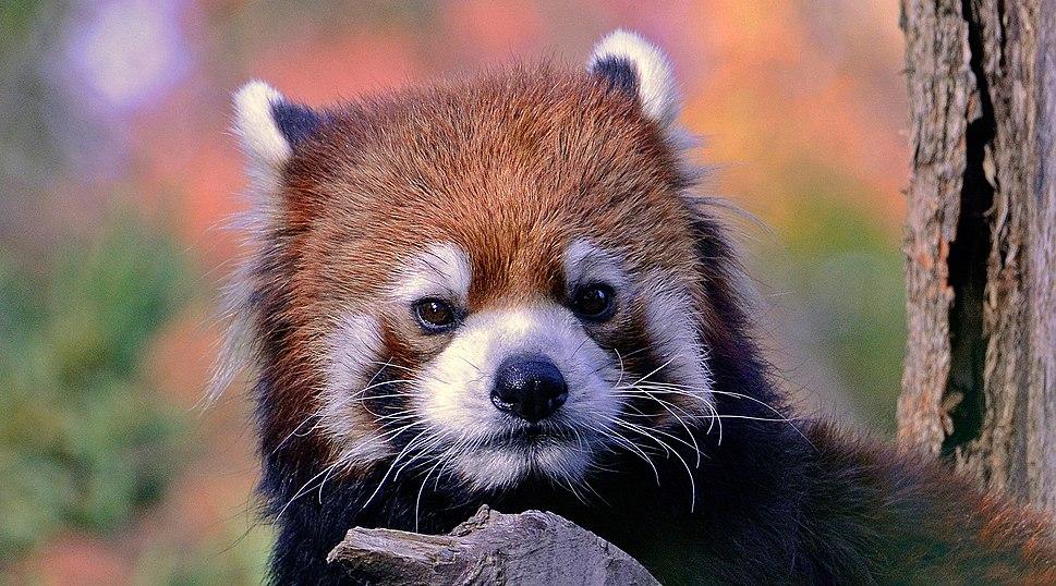 Spinus-red-panda-2014-10-n017050-w