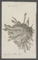 Spondylus spec. - - Print - Iconographia Zoologica - Special Collections University of Amsterdam - UBAINV0274 074 10 0012.tif