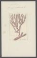 Spongia rubicunda - - Print - Iconographia Zoologica - Special Collections University of Amsterdam - UBAINV0274 112 02 0066.tif