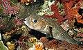 Spot-fin Porcupine Fish (Diodon hystrix) (6058764739).jpg