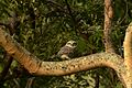 Spotted owlet (Athene brama)from coimbatore JEG2116 a.jpg