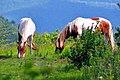 Spring Horses (7415096212) (2).jpg