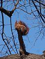 Squirle in Lazienki Park (8020479764).jpg
