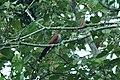 Squirrel Cuckoo (Amazonian) (Piaya cayana) 2015-06-13 (2) (40282963892).jpg