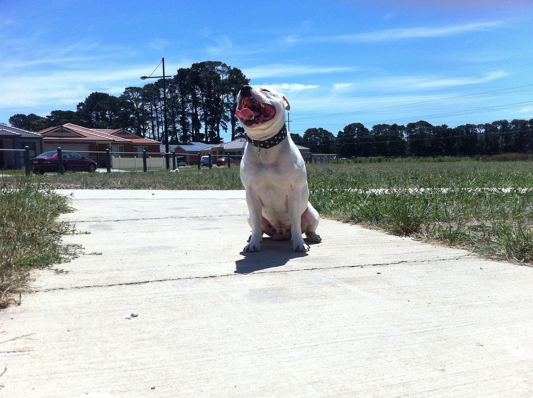 Perro Staffordshire Bull Terrier