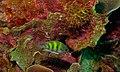 Staghorn Damselfish (Amblyglyphidodon curacao) (8492920752).jpg