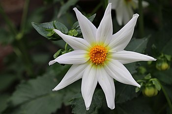 Star Flower.jpg