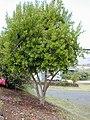 Starr-010419-0011-Pimenta dioica-habit-Kula-Maui (23903992394).jpg