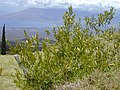 Starr-010419-0056-Olea europaea subsp cuspidata-young plant by fence-Kula-Maui (24506072416).jpg
