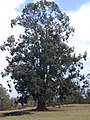 Starr-010423-0049-Eucalyptus sp-habit-Kula-Maui (24424106882).jpg