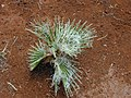 Starr-010914-0066-Washingtonia robusta-filiferous seedling-Lahaina-Maui (24433887632).jpg