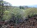 Starr-030202-0081-Myoporum sandwicense-habit-Wailea 670-Maui (24511527532).jpg