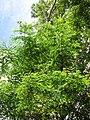 Starr-090623-1460-Adenanthera pavonina-canopy-Nahiku-Maui (24598969819).jpg