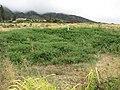 Starr-090707-2297-Solanum lycopersicum-large patch-Waikapu-Maui (24673339700).jpg