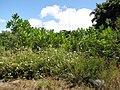 Starr-090814-4379-Filicium decipiens-habit-Puanani o Kula nursery Kihei-Maui (24345493163).jpg
