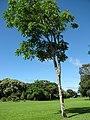 Starr-091104-0806-Garcinia madruno-habit-Kahanu Gardens NTBG Kaeleku Hana-Maui (24692125700).jpg