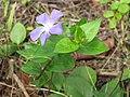 Starr-110307-2360-Vinca major-flower and leaves-Kula Botanical Garden-Maui (24709218159).jpg