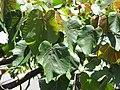 Starr-110330-4197-Ochroma pyramidale-leaves-Garden of Eden Keanae-Maui (24963227522).jpg