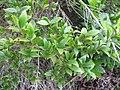 Starr-110331-4585-Myrtus communis-leaves-Shibuya Farm Kula-Maui (24963787072).jpg