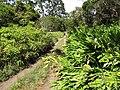 Starr-111003-0449-Hedychium coronarium-habit-Waikamoi Flume Rd-Maui (25118086955).jpg