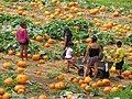 Starr-111004-0587-Cucurbita pepo-pumpkin patch-Kula Country Farms-Maui (25000198812).jpg