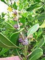 Starr-120412-4591-Conocarpus erectus-fruit and leaves-Waihee Coastal Preserve-Maui (25112970906).jpg