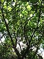 Starr-120522-6081-Kigelia africana-tree-Iao Tropical Gardens of Maui-Maui (24516268683).jpg
